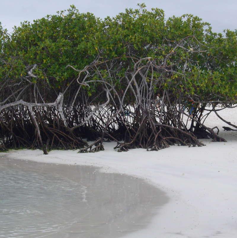 Manglares, Bahía Tortuga, Santa Cruz.