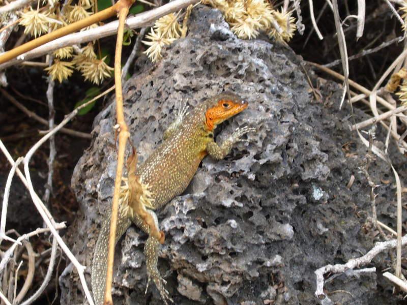 Microlophus en Galápagos.