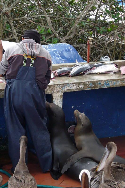 Pescador preparando peces. Los lobos marinos y pelícanos están esperando su parte de la comida.