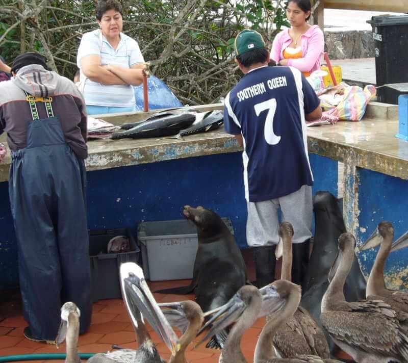 Pelícanos en el Muelle del Pescador en Puerto Ayora esperando por comida.