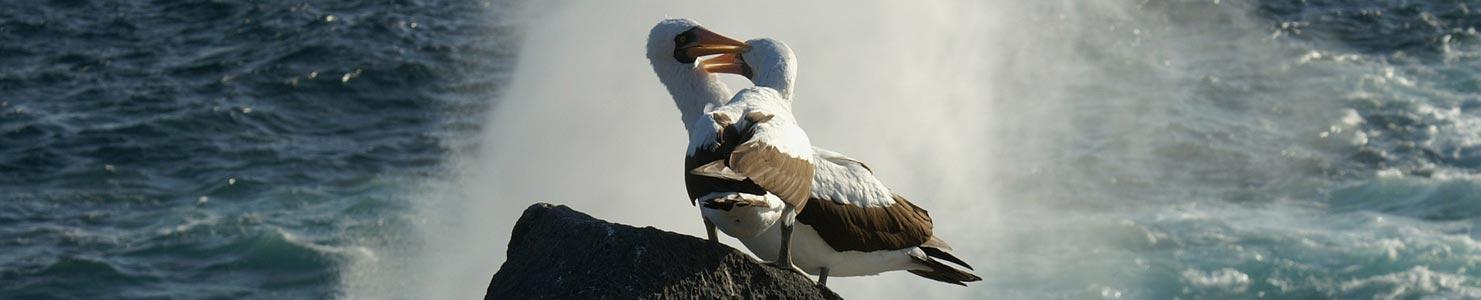 Albatros de Galápagos.