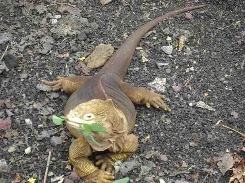 Iguana terrestre.