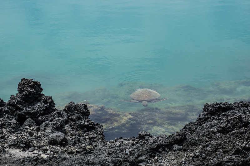Tortuga marina verde.