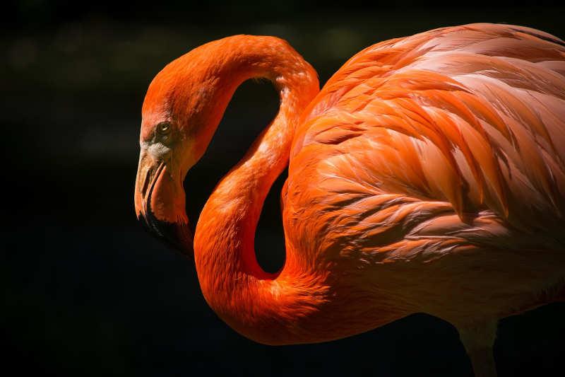Rosa flamingo.