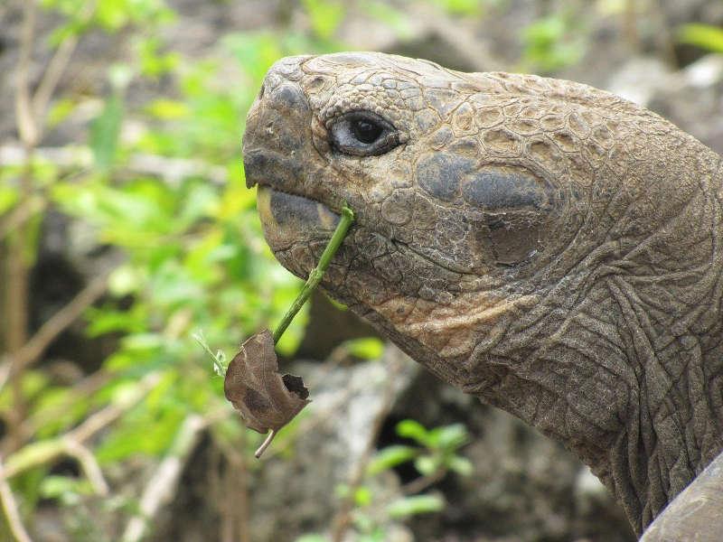 Tortuga gigante comiendo una rama.
