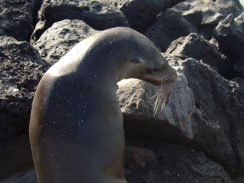 Lobo marino en las rocas del islote.