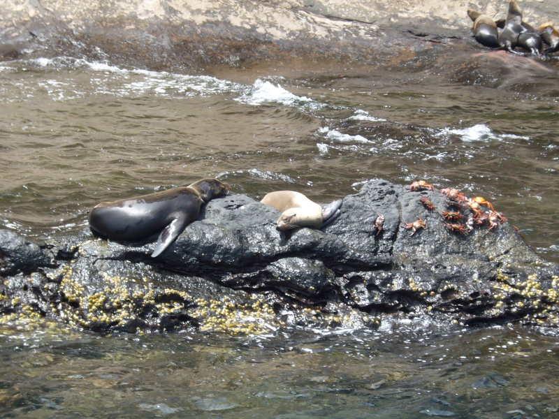 Lobos marinos y cangrejos, Daphne Mayor.
