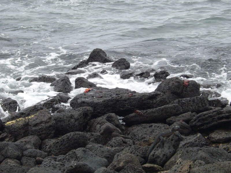 Grapsus grapsus, Bahía Tortuga.