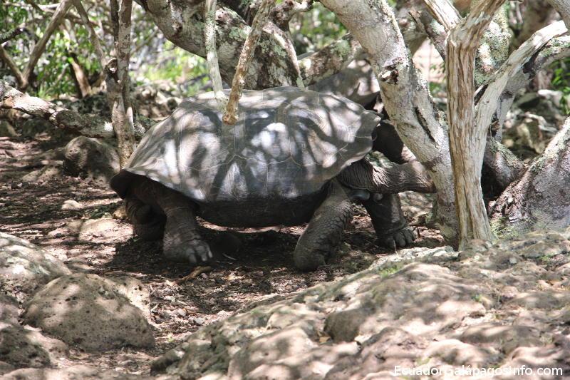 Chelonoidis chathamensis.