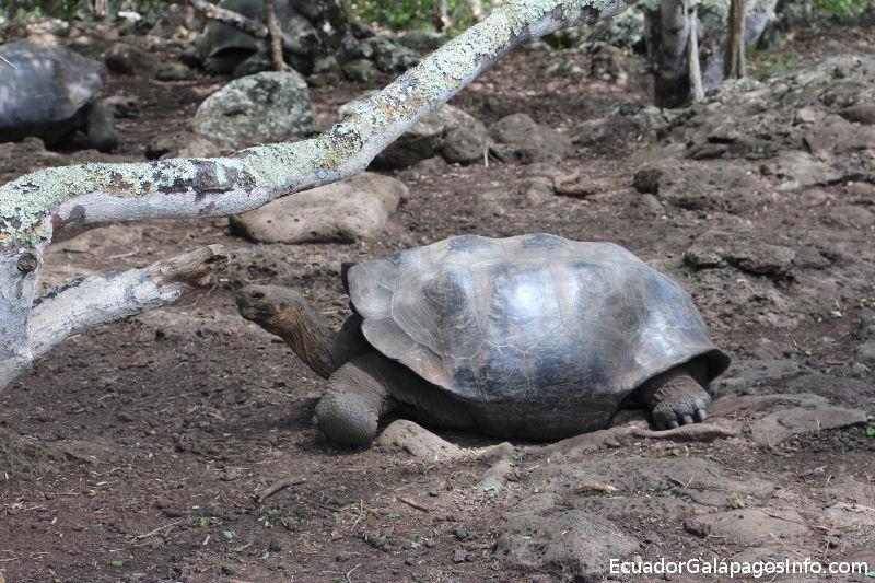 Chelonoidis chathamensis en la Galapaguera.