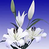 Asiatic Lilies White 40 Flowers