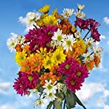 Premium Assorted Chrysanthemums Daisies Flowers | 72 Pom Poms Assorted Daisies