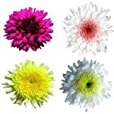 200 Chrysanthemums Assorted Disbud Flowers Wholesale