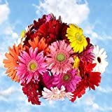 Premium Assorted Gerbera Flowers | 120 Gerberas Flowers Assorted Colors
