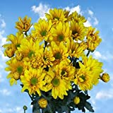 Send Yellow Chrysanthemum Daisy Flowers | 72 Pom Poms Yellow Daisies