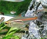 熱帯魚 生体 グローライトテトラ 2-3cm 10匹 【ネットファームジャパン】