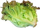 サニーレタス(レタス) 1把  サラダや料理のいろどりに!  【九州・福岡産】