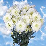 Best White Chrysanthemum Cushion Flowers | 36 Pom Poms White Cushion