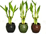 KL Design & Import - 3 Colors Bamboo Style Mini Ceramic Vases and total 9 Stalks of Lucky Bamboo