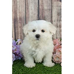 Maltipoo Puppy Designer Dog Journal: 150 Page Lined Notebook/Diary