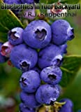 Blueberries in Your Backyard: How to Grow America's Hottest Antioxidant Fruit for Food, Health, and Extra Money (Booklet)