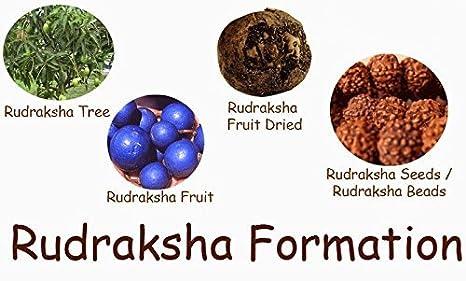 Imagini pentru Rudraksha