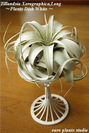 エアープランツチランジア・キセログラフィカ プランツディッシュ(アンティークホワイト) インテリア観葉植物