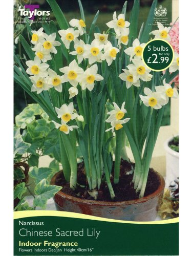 Narcissus 'Sacred Lily' (indoor flowering) - 5 per pack