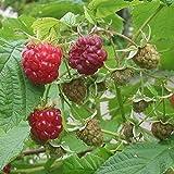 [Amazon限定]木いちご:ラズベリー インディアンサマー5号ポット2株セット[二季なりの人気ラズベリー][苗木]