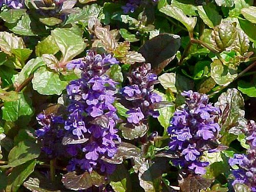 'Purple Brocade' Bugleweed - Ajuga - Purple Foliage/Blue Flowers - One Quart Pot
