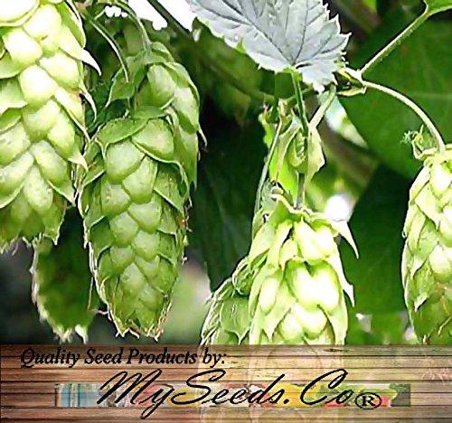 HOPS - Humulus lupulus - Seeds