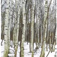 白樺樹液100% 森の雫