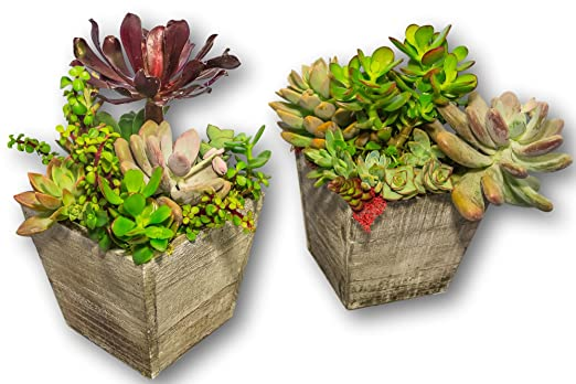 Fat Plants San Diego Tapered Vintage Grey Box Succulent Arrangement