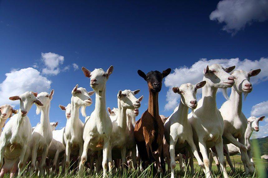 CRA vota incentivos para criadores de ovelhas e cabras