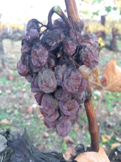 Botrytisega nakatunud marjakobar I Allikas: winefashionista.com