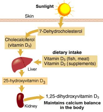 What is the difference between calcitriol vitamin d3 ...