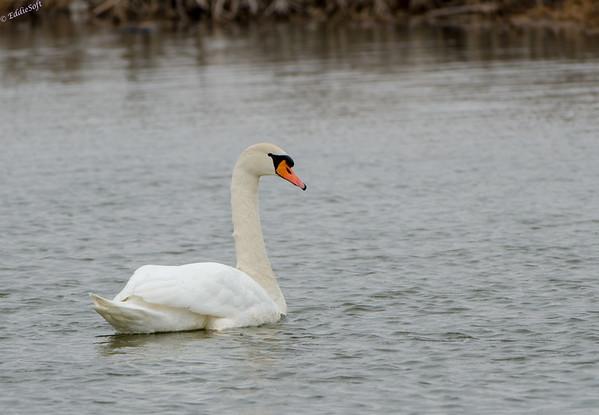 Mute Swans at Banner Marsh