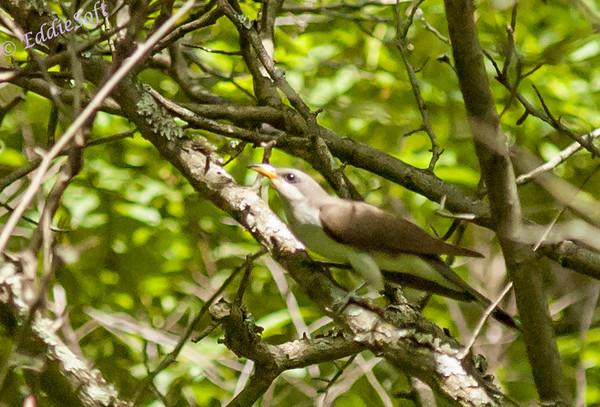 Yellow-Billed Cuckoo shot in Brimfield. IL
