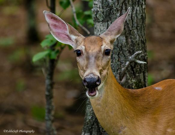Deer in Porcupines