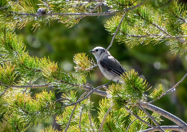 Yellowstone National Park - Gray Jay
