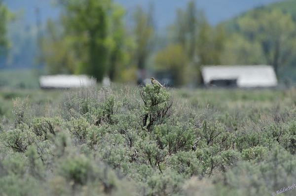 estern Meadowlark in the Tetons
