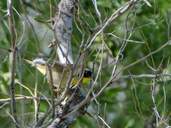 Common Yellowthroat from South Dakota