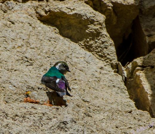 Violet-Green Swallow at Yellowstone