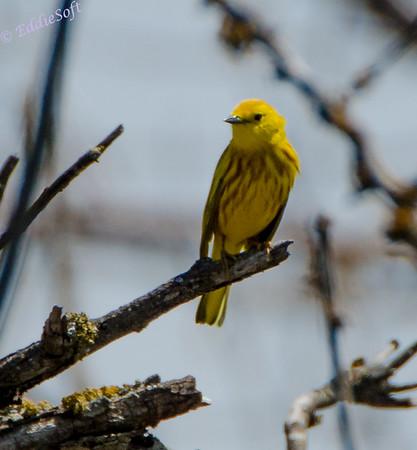 Yellow Warbler from South Dakota