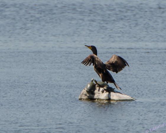 Double-Crested Cormorant in South Dakota