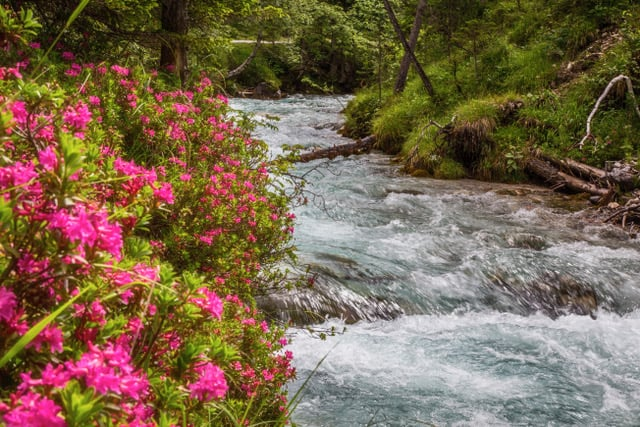 alpine roses on the banks of the isar