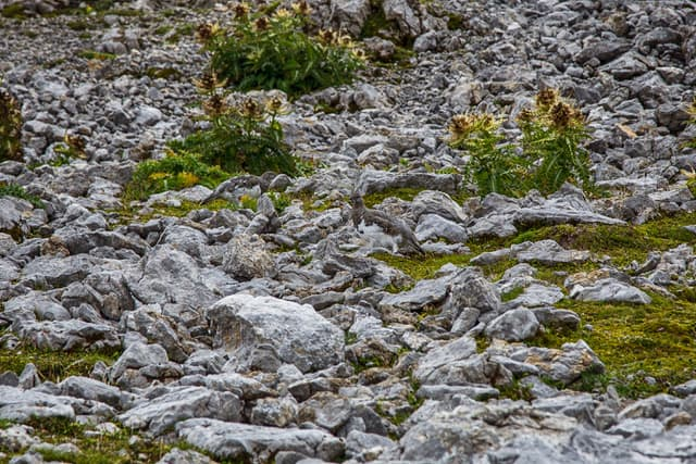 perfectly camouflaged ptarmigan