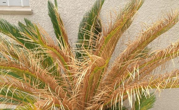 Pintar, colorear, reparar una palmera seca, reseca y dañada