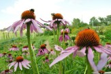 Bees a buzzing on the coneflowers