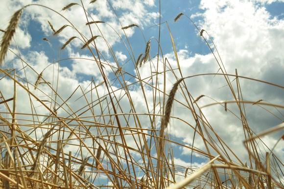 Rye in the sky